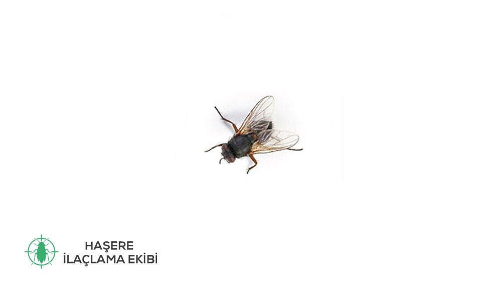 Kara sinek ilaçlama